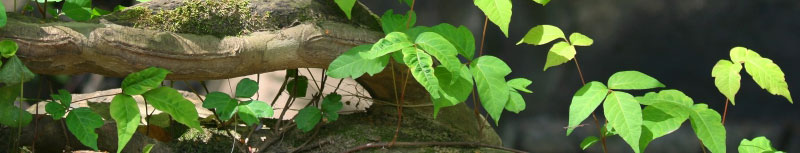 Poison Ivy Removal, Poison Ivy Spray Bucks County Montgomery County