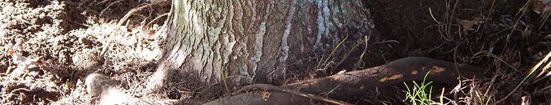 Tree Root Problems, Root Collar Services Bucks County Montgomery County